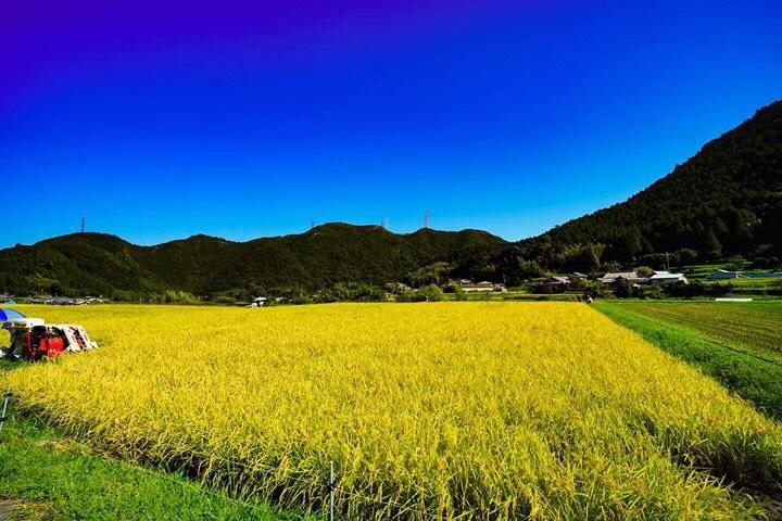 大木米の収穫